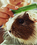 4 Common Ailments and Diseases in Guinea Pigs