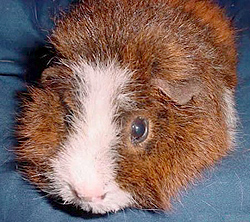 There's a lot to love about little critters like guinea pigs