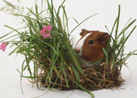 Why Guinea Pigs are called Guinea Pigs?