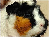 Guinea pig family saved from fire