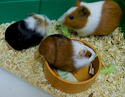Setting Up a Guinea Pig Home