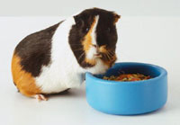 Guinea Pigs Digestion