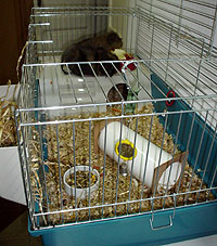 cavy cages